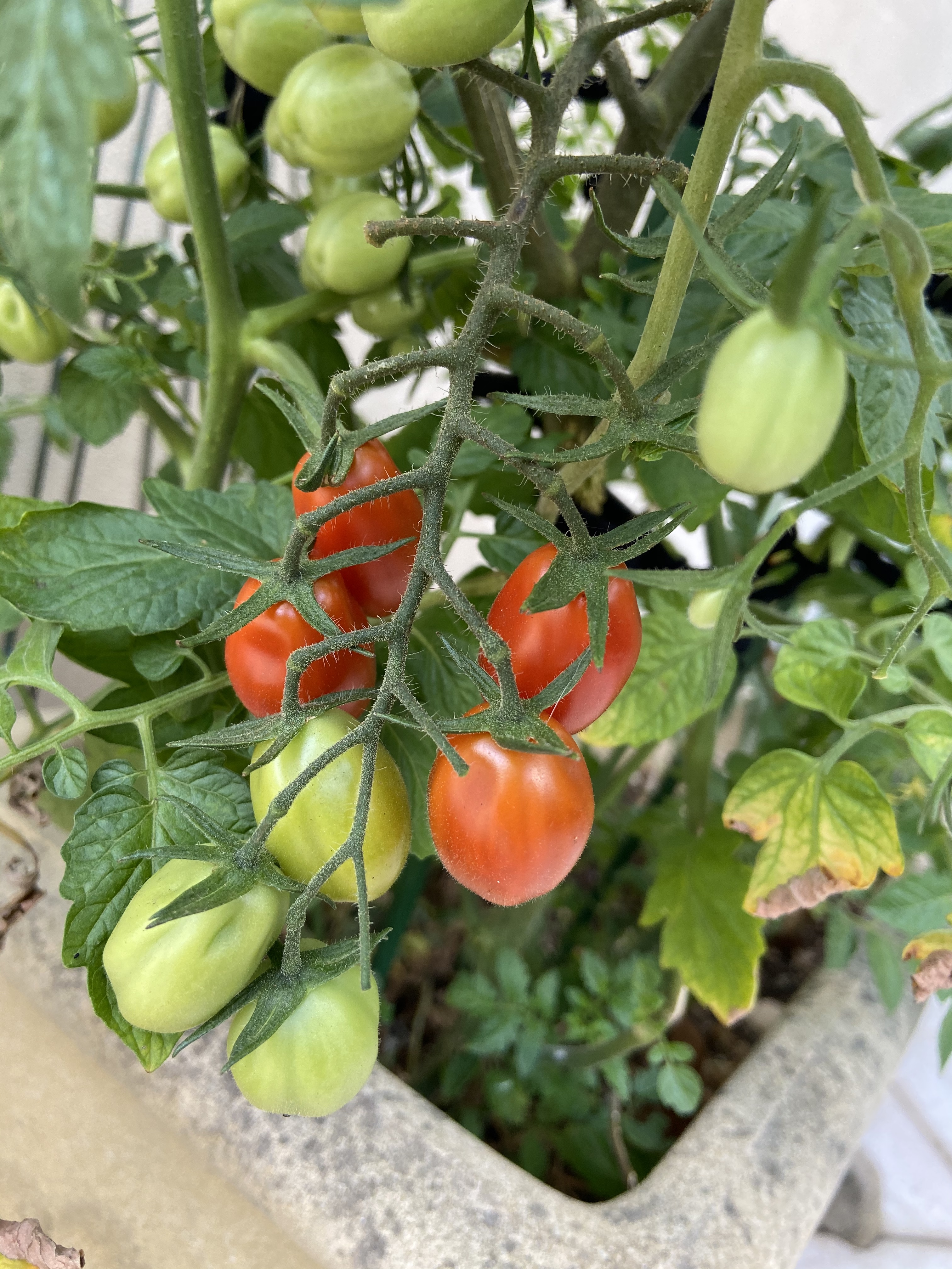 Everything I learned about about self care I learned from my tomatoes